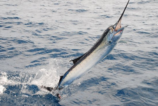 sailfish fishing charter