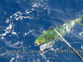 mahi mahi fishing season