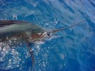 sailfishing cancun